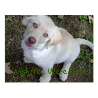 Wish You Were Here Yellow Labrador Retriever Postcard