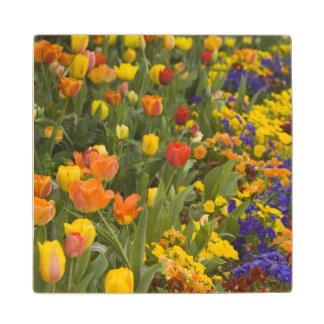 Wisteria and tulips in garden of Dumbarton