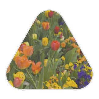 Wisteria and tulips in garden of Dumbarton Speaker