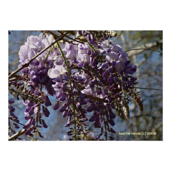 Wisteria Cluster Posters