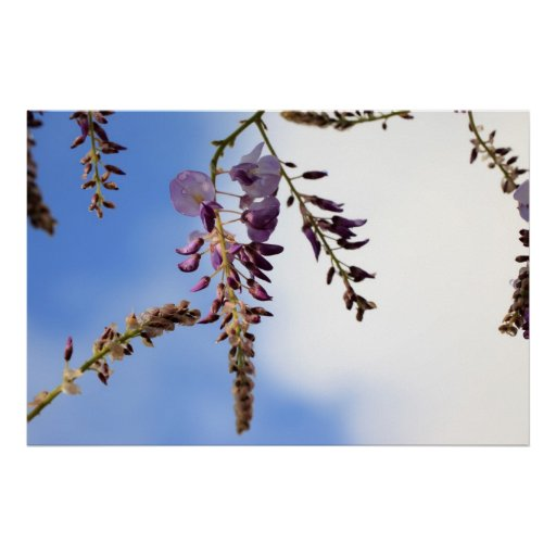 Wisteria Flowers Poster