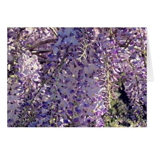 wisteria in spring greeting card