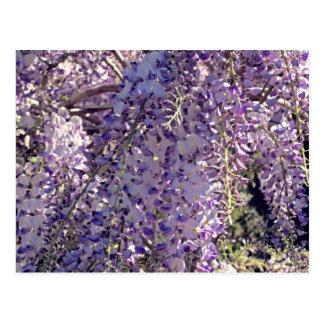 wisteria in spring postcard