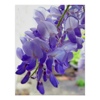 Wisteria Purple / Violet Coloured Flower Poster