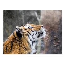 Wistful Winter Tiger Postcard