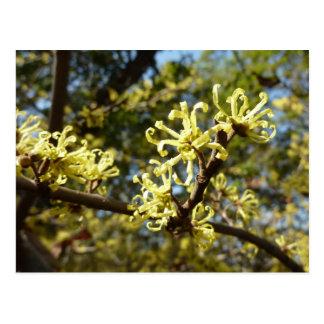Witch Hazel Flowers Pale Yellow Floral Postcard