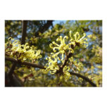 Witch Hazel Flowers Photo Print