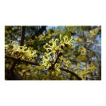 Witch Hazel Flowers Poster