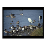 WO, Pintails and Snowy Egrets Post Card