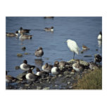WO, Pintails and Snowy Egrets Postcards