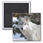 wolf 2 inch square magnet
