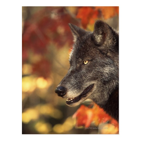 Wolf 2 postcard