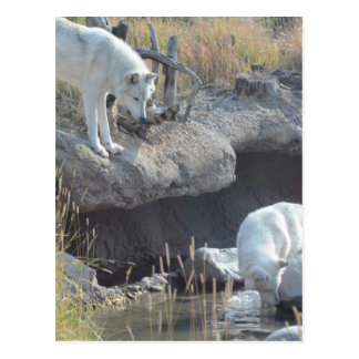 Wolf Animals Peace Love Nature Park Wolves Destiny Post Card