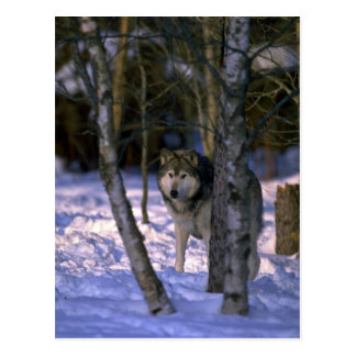 Wolf at edge of snowy forest postcards