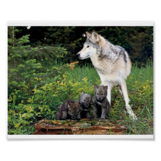 Wolf babysitting pups posters
