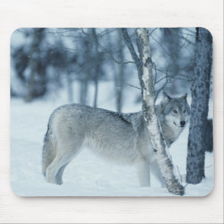 Wolf (Canis lupus) during Winter Mouse Pad