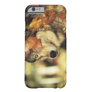 Wolf (Canis lupus), headshot, with Autumn color, Barely There iPhone 6 Case