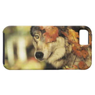 Wolf (Canis lupus), headshot, with Autumn color, iPhone 5 Cases