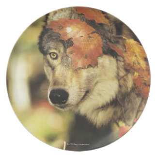 Wolf (Canis lupus), headshot, with Autumn color, Melamine Plate
