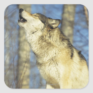 Wolf (Canis lupus) howling, close-up, Canada Square Sticker