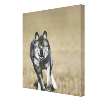 Wolf (Canis Lupus) Running Towards Camera Stretched Canvas Prints