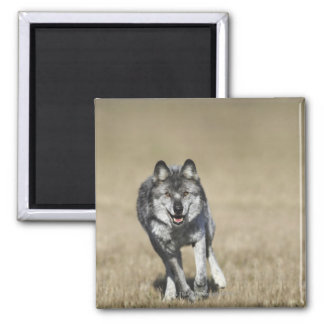 Wolf (Canis Lupus) Running Towards Camera Magnet