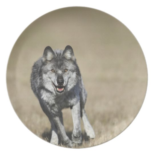 Wolf (Canis Lupus) Running Towards Camera Plate