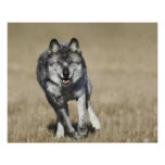 Wolf (Canis Lupus) Running Towards Camera Poster