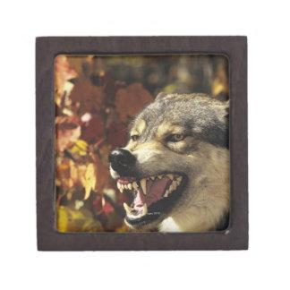Wolf (Canis lupus) snarling, headshot, with Keepsake Box