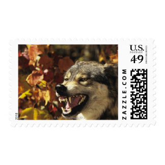 Wolf (Canis lupus) snarling, headshot, with Postage