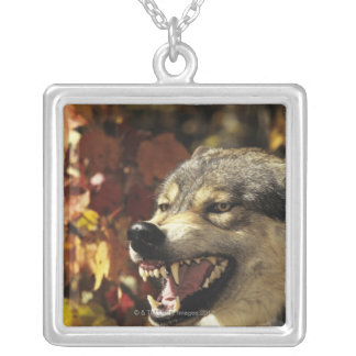 Wolf (Canis lupus) snarling, headshot, with Silver Plated Necklace