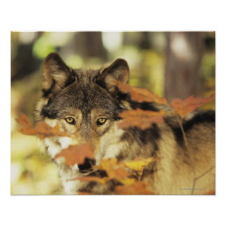 Wolf (Canis lupus) with autumn color, Canada Poster