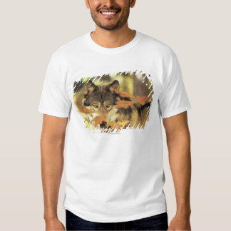 Wolf (Canis lupus) with autumn color, Canada T Shirt