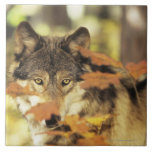 Wolf (Canis lupus) with autumn color, Canada Large Square Tile