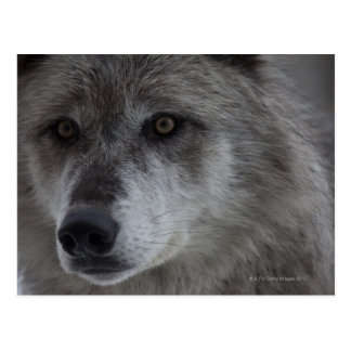 Wolf Canus lupus from Yellowstone National Post Card