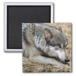 Wolf Chewing on a Bone Fridge Magnets