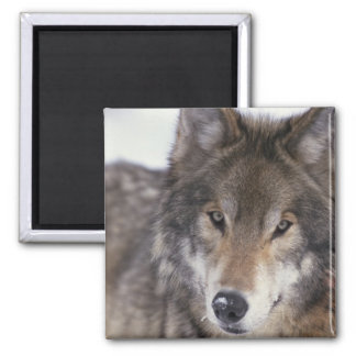 Wolf Close-Up Magnet