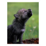 Wolf Cub Howling Posters