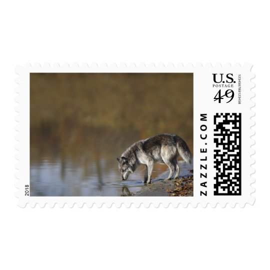 Wolf Drinking Water From A Pond Postage