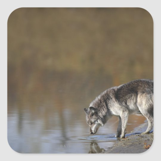 Wolf Drinking Water From A Pond Square Sticker