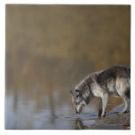 Wolf Drinking Water From A Pond Tiles