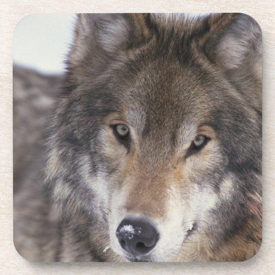 Wolf Gaze Coaster
