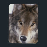 "Wolf Gaze Magnet<br><div class=""desc"">Grey Wolf (Timber Wolf) looking into the camera,  wildlife photography.</div>"