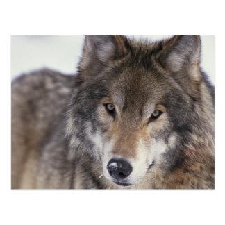 Wolf Gaze Postcard