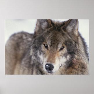Wolf Gaze Poster
