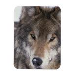Wolf Gaze Rectangular Photo Magnet