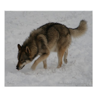 Wolf Hunting in Snow Poster
