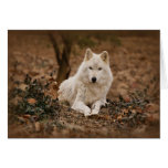 Wolf in Autumn Cards