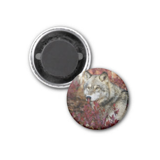 Wolf in red foliage 1 inch round magnet