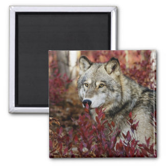 Wolf in red foliage 2 inch square magnet